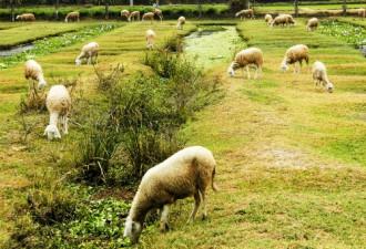 Hấp dẫn hương vị thịt cừu nướng Ninh Thuận