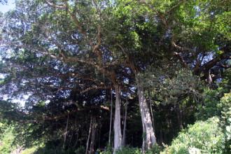 Cây đa 800 tuổi ở Đà Nẵng thành cây di sản Việt Nam