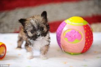 Chú chó nhỏ đáng yêu chỉ nặng 3 lạng, cao 10cm
