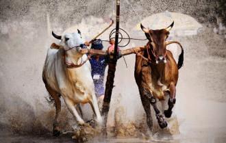 Lễ hội đua bò Bảy Núi sôi động ở An Giang