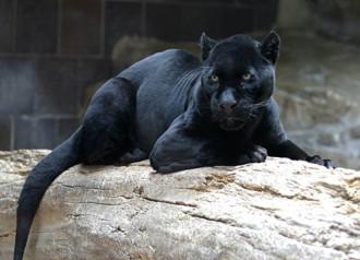 Những con vật đột biến sở hữu màu lông đen khác thường