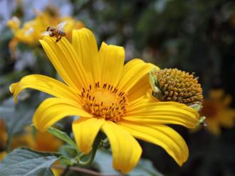 Tháng 10, đến Đà Lạt ngắm biển hoa dã quỳ