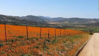 Thế giới hoa rực rỡ giữa sa mạc Nam Phi