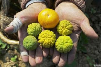 Hoa quả biến dạng quắt queo do bị nhiễm độc từ đất