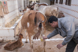 Tập quán uống nước tiểu 'bò trinh nữ' ở Ấn Độ