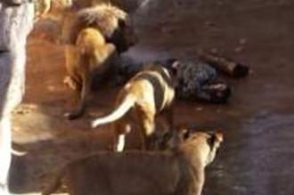 Vị khách tơi tả vì chui vào chuồng 'trêu ngươi' sư tử