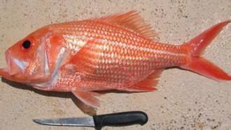 Bắt được cá hồi đỏ sống thọ tới 84 tuổi