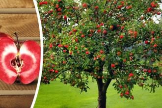 Đẹp mê mẩn vườn táo ruột đỏ