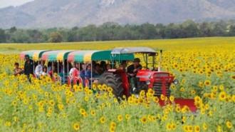 Lopburi - vùng đất của hoa mặt trời tại Thái Lan