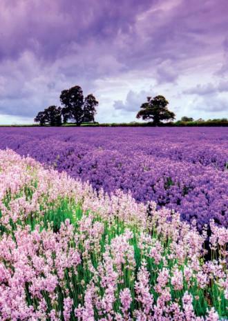 Tháng 7, mùa oải hương đẹp như tranh ở Pháp