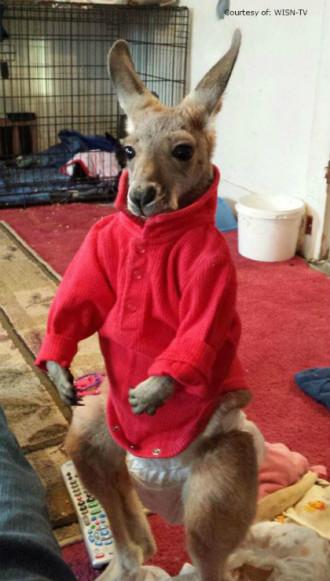 Khách bị mời ra khỏi nhà hàng vì dắt theo kangaroo