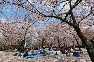 Ngắm hoa anh đào mùa Sakura