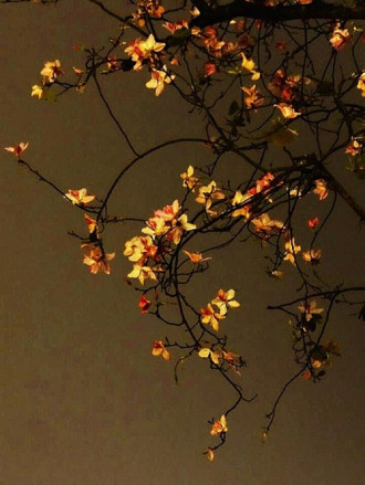 Chùm ảnh hoa ban đẹp lung linh dưới trời đêm Hà Nội