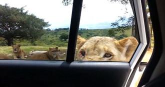 Sư tử dùng răng mở cửa ôtô của du khách