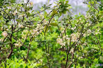 Vẻ đẹp tinh khiết của hoa bưởi, hoa chanh