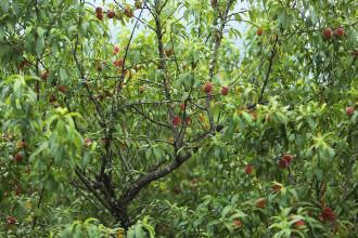 Mùa đào chín đỏ một vùng cao nguyên Mộc Châu