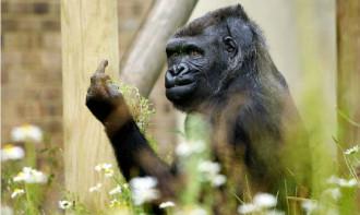Bị chụp ảnh, khỉ đột giơ 'ngón tay thối' vào du khách