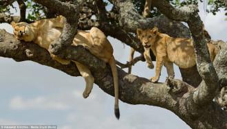 Vườn quốc gia Serengeti: Nắng nóng khiến sư tử phải ngủ trên cây