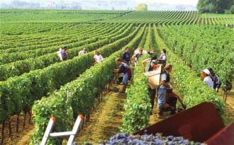4 vùng trồng nho sản xuất vang nổi tiếng trên thế giới