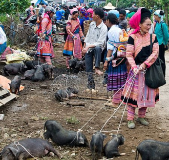 Lợn cắp nách, pa pỉnh tộp vùng núi Tây Bắc mùa lúa chín