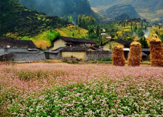 Mê hoặc mùa hoa Tam giác mạch ở Hà Giang