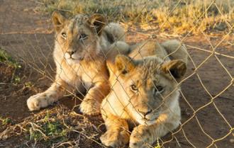 Cuộc đời của những con sư tử sinh ra để thành mồi săn