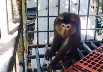 Vì sao khỉ đuôi lợn tấn công người trên bán đảo Sơn Trà