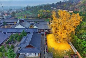 Cây 'vàng' 1.400 năm tuổi ở Trung Quốc