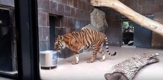 Nữ khách say xỉn bị tấn công khi đột nhập chuồng hổ