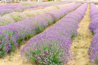 Cánh đồng hoa oải hương tím biếc ở Mỹ