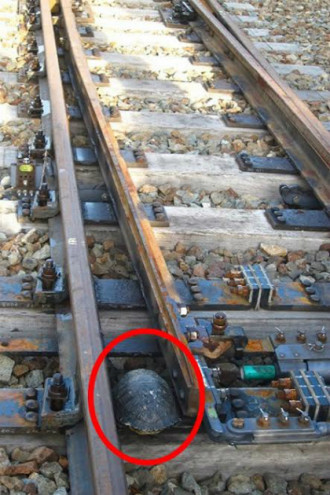 Nhật Bản xây dựng lối thoát hiểm dành riêng cho rùa