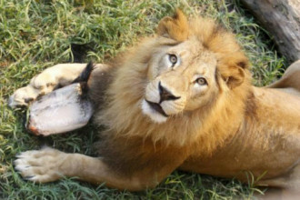 Sở thú London mở dịch vụ ngủ với sư tử