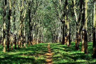 Rừng cao su trong mùa thay lá ở Gia Lai