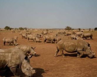 Trang trại nuôi tê giác lấy sừng lớn nhất thế giới