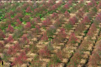 Hoa đào vẫn nhuộm đỏ Nhật Tân