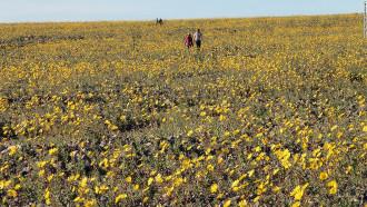 Hoa nở bạt ngàn trên thung lũng chết