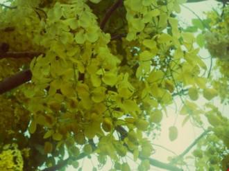 Mùa hoa bò cạp rực rỡ sắc vàng ở Sài Gòn
