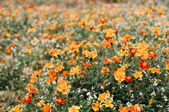 Cao nguyên đá được nhuộm màu trong mùa hoa cúc dại