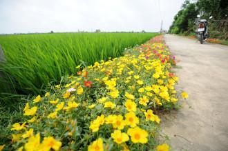 Con đường hoa mười giờ rực rỡ dài 3 km ở Nam Định