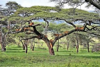 Khoảnh khắc ngủ trưa hiền lành của bầy sư tử