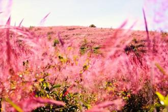 Mê đắm sắc hồng cỏ đuôi chồn ở Đà Lạt