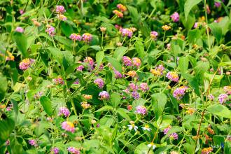Phiêu lãng theo những cánh hoa đầu đông ở Ba Vì