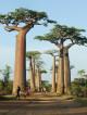 Những cây bao báp khổng lồ của mảnh đất Phi Châu