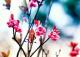 Hoa đào chuông ngân giai điệu mùa xuân